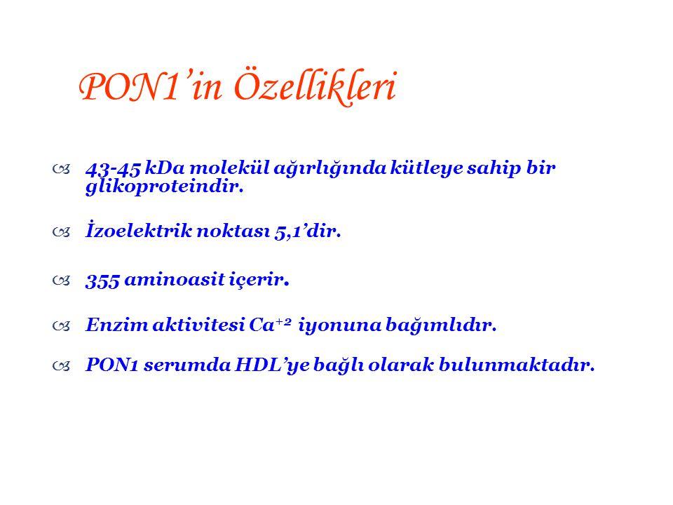 PON1'in Özellikleri 43-45 kDa molekül ağırlığında kütleye sahip bir glikoproteindir. İzoelektrik noktası 5,1'dir.