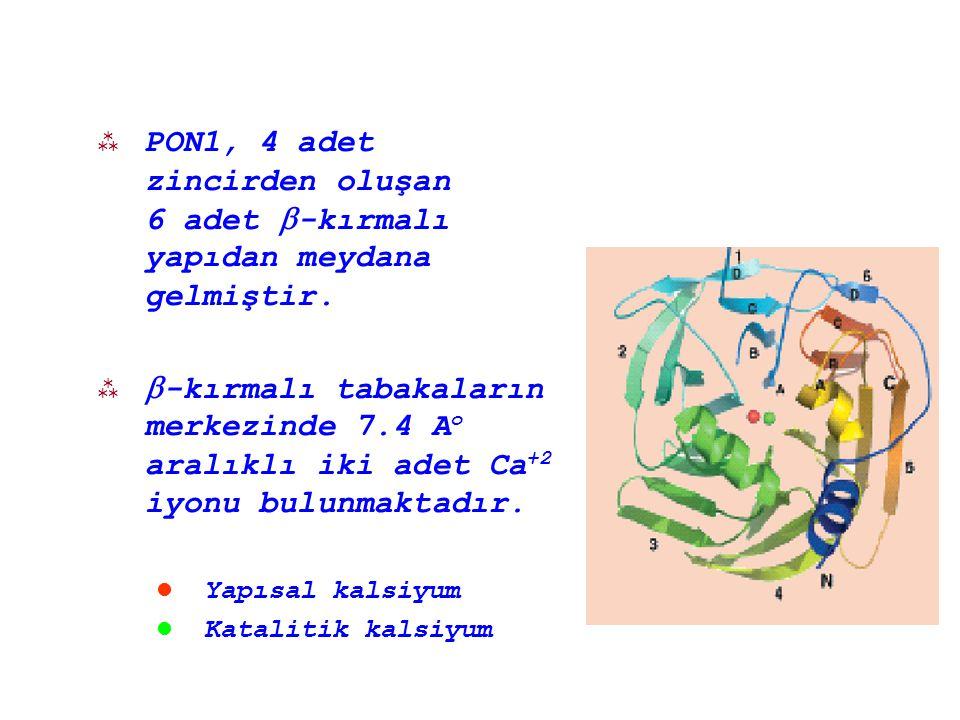 PON1, 4 adet zincirden oluşan 6 adet -kırmalı yapıdan meydana gelmiştir.