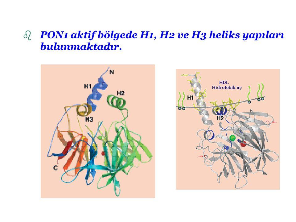 PON1 aktif bölgede H1, H2 ve H3 heliks yapıları bulunmaktadır.