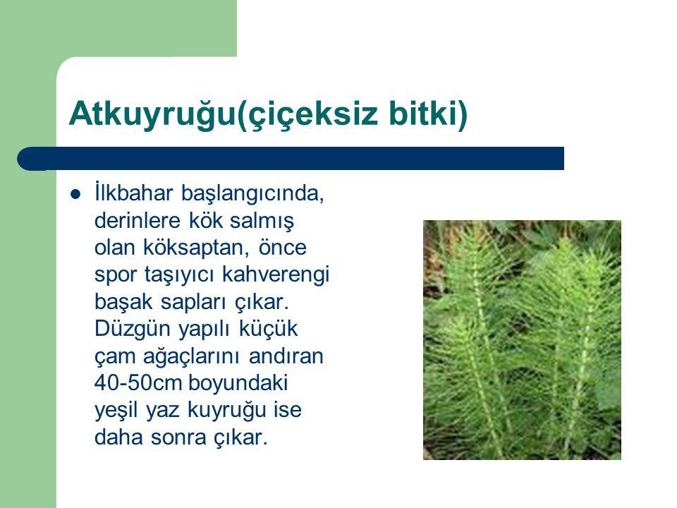 Atkuyruğu(çiçeksiz bitki)