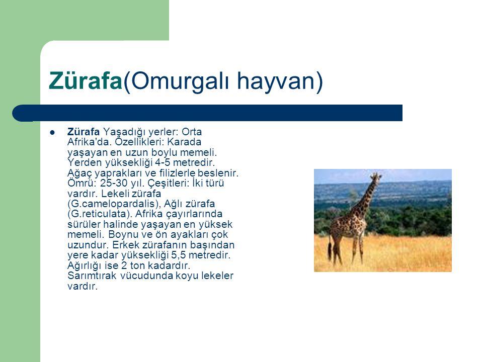 Zürafa(Omurgalı hayvan)