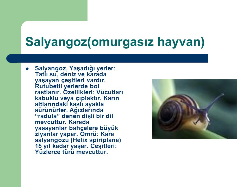 Salyangoz(omurgasız hayvan)