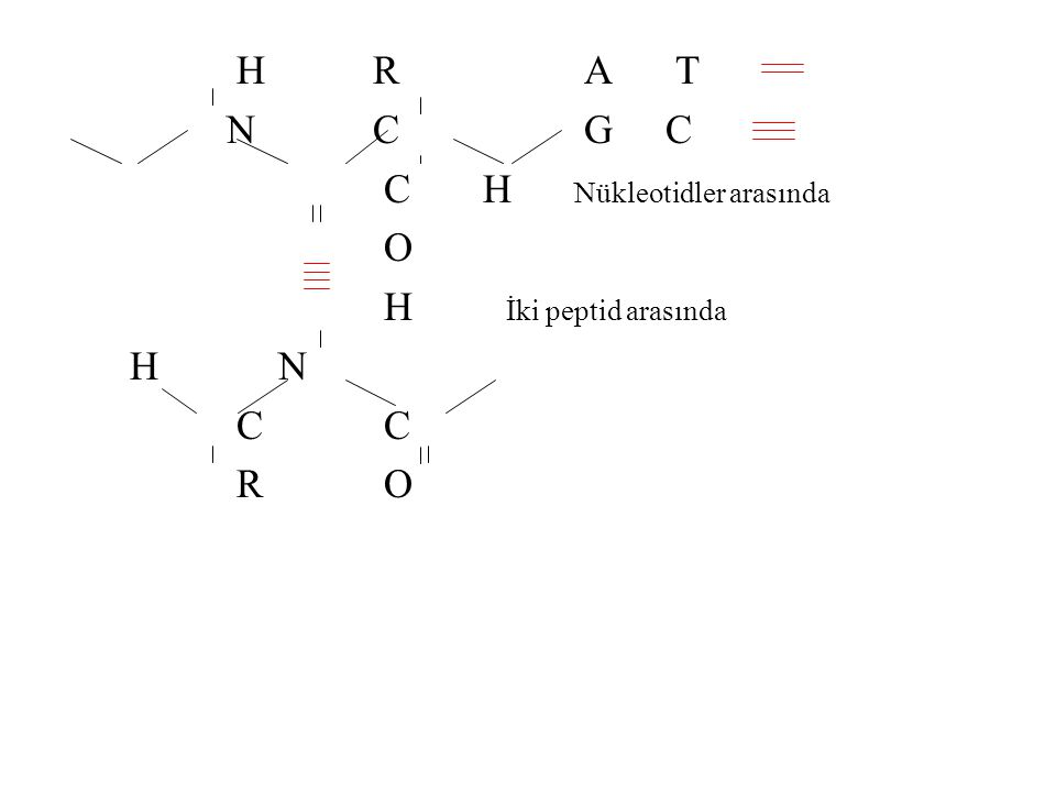 H R A T N C G C. C H Nükleotidler arasında. O.