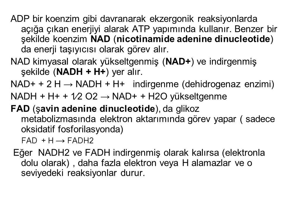 NAD+ + 2 H → NADH + H+ indirgenme (dehidrogenaz enzimi)