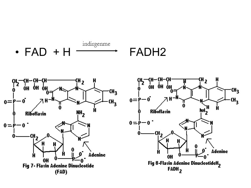 indirgenme FAD + H FADH2