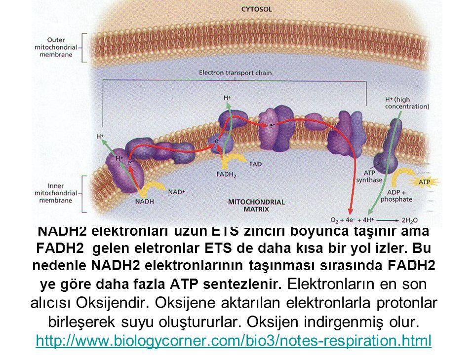 NADH2 elektronları uzun ETS zinciri boyunca taşınır ama FADH2 gelen eletronlar ETS de daha kısa bir yol izler.
