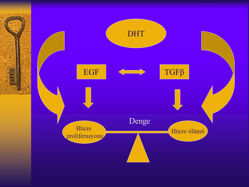 DHT EGF TGFβ Denge Hücre proliferasyonu Hücre ölümü