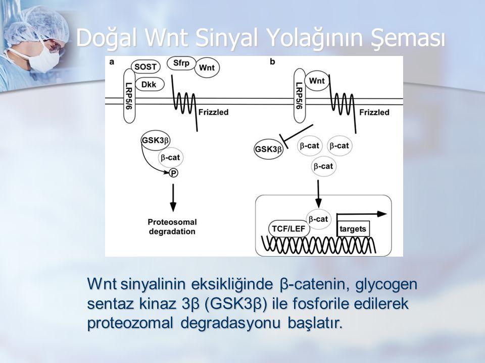 Doğal Wnt Sinyal Yolağının Şeması