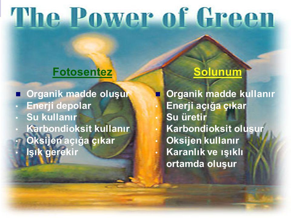 Fotosentez Solunum Organik madde oluşur Enerji depolar Su kullanır