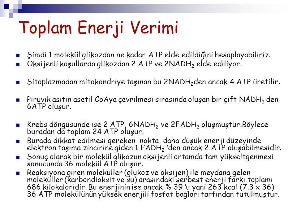 Toplam Enerji Verimi Şimdi 1 molekül glikozdan ne kadar ATP elde edildiğini hesaplayabiliriz.