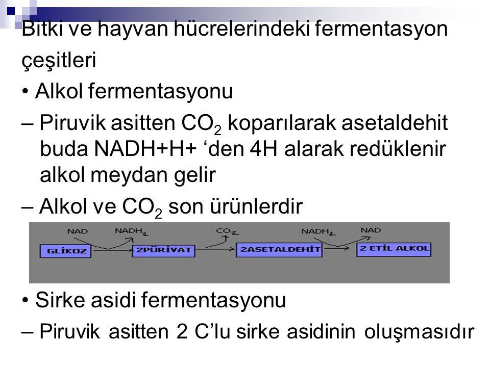 Bitki ve hayvan hücrelerindeki fermentasyon