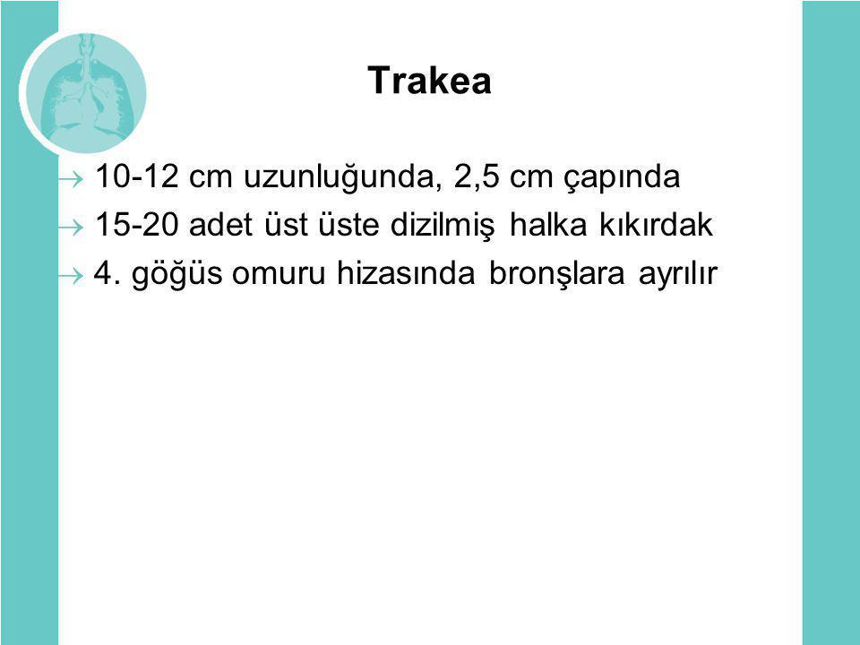 Trakea 10-12 cm uzunluğunda, 2,5 cm çapında