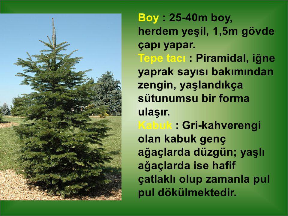 Boy : 25-40m boy, herdem yeşil, 1,5m gövde çapı yapar.