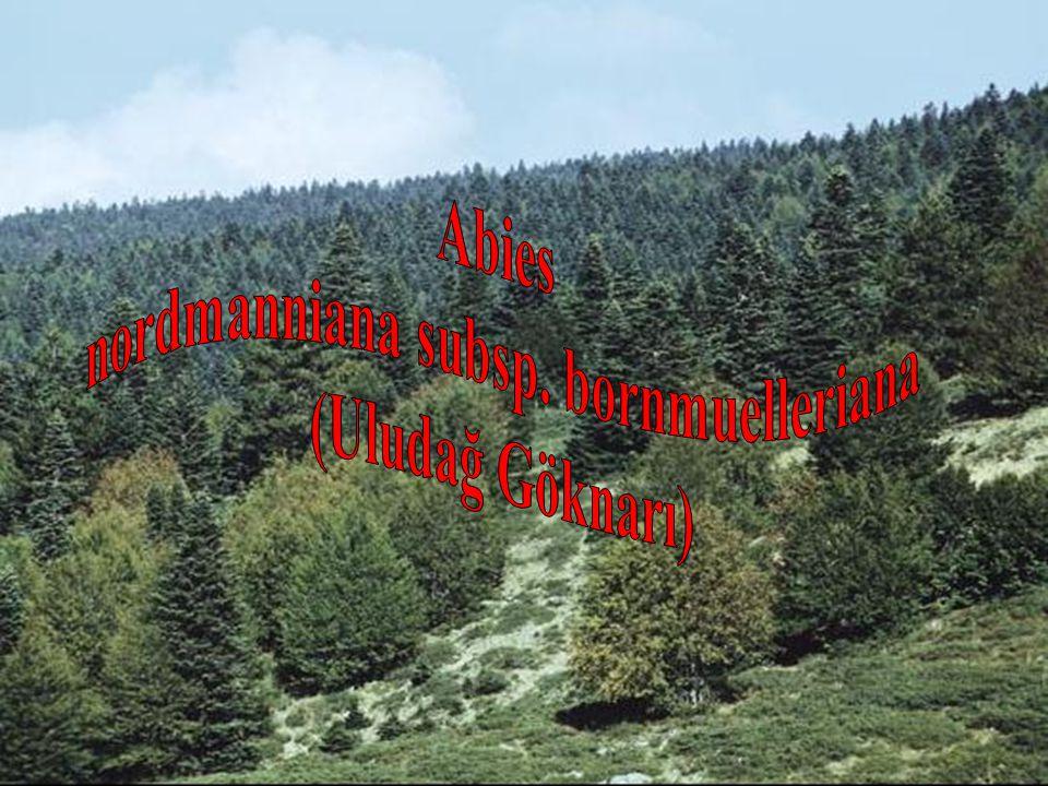 nordmanniana subsp. bornmuelleriana