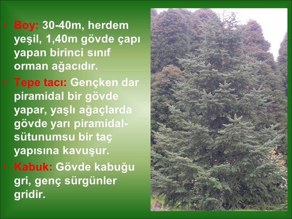 Boy: 30-40m, herdem yeşil, 1,40m gövde çapı yapan birinci sınıf orman ağacıdır.