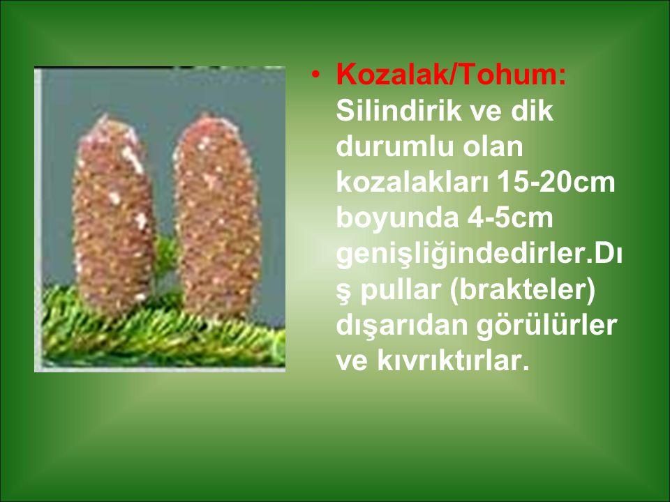 Kozalak/Tohum: Silindirik ve dik durumlu olan kozalakları 15-20cm boyunda 4-5cm genişliğindedirler.Dış pullar (brakteler) dışarıdan görülürler ve kıvrıktırlar.