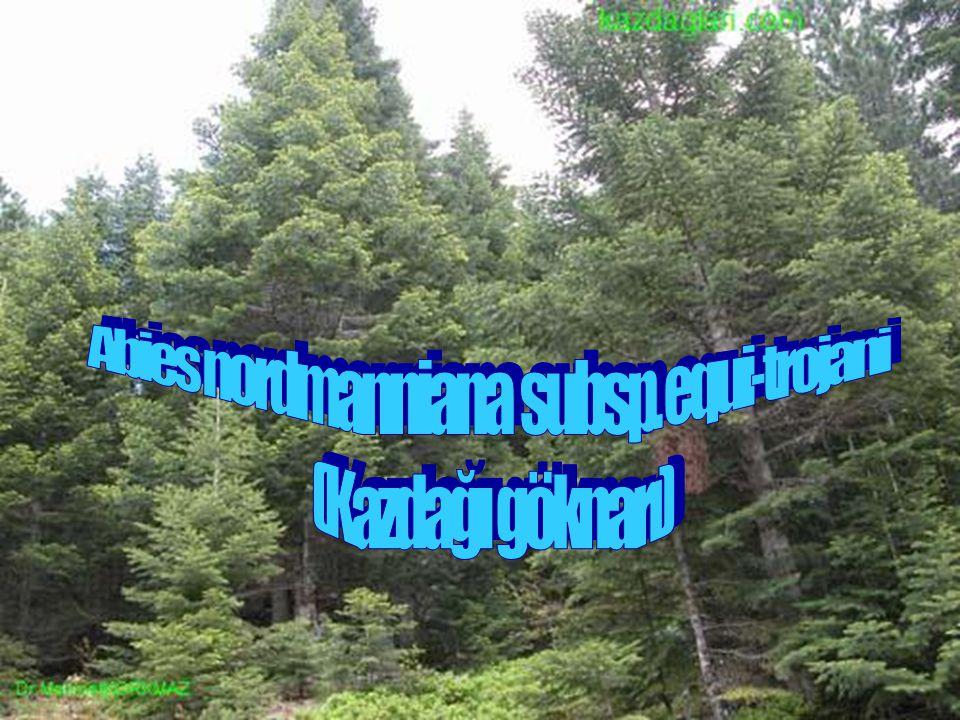 Abies nordmanniana subsp. equi-trojani