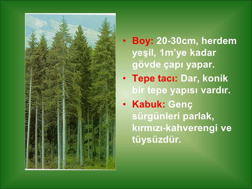 Boy: 20-30cm, herdem yeşil, 1m'ye kadar gövde çapı yapar.