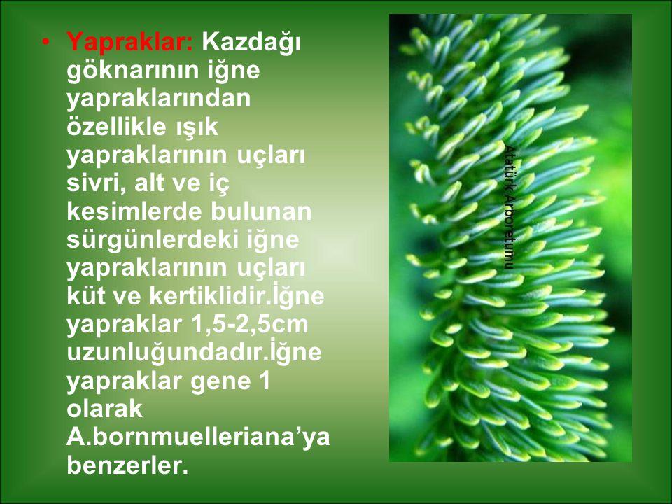 Yapraklar: Kazdağı göknarının iğne yapraklarından özellikle ışık yapraklarının uçları sivri, alt ve iç kesimlerde bulunan sürgünlerdeki iğne yapraklarının uçları küt ve kertiklidir.İğne yapraklar 1,5-2,5cm uzunluğundadır.İğne yapraklar gene 1 olarak A.bornmuelleriana'ya benzerler.