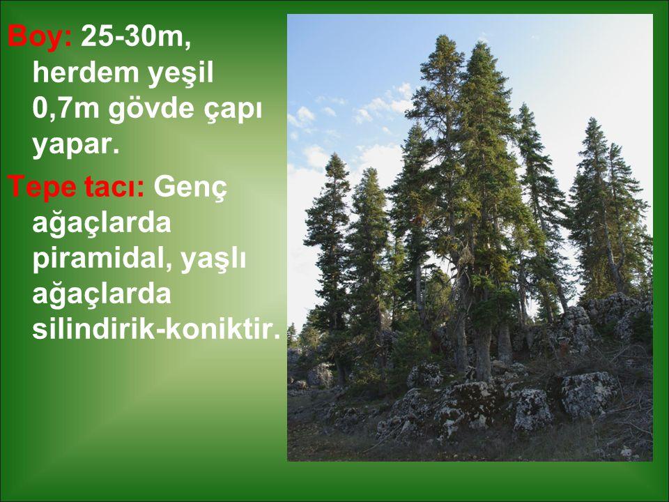 Boy: 25-30m, herdem yeşil 0,7m gövde çapı yapar.