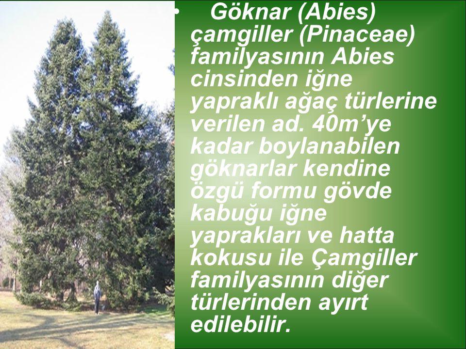 Göknar (Abies) çamgiller (Pinaceae) familyasının Abies cinsinden iğne yapraklı ağaç türlerine verilen ad.