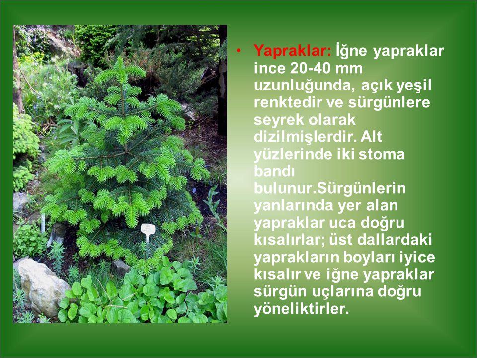 Yapraklar: İğne yapraklar ince 20-40 mm uzunluğunda, açık yeşil renktedir ve sürgünlere seyrek olarak dizilmişlerdir.