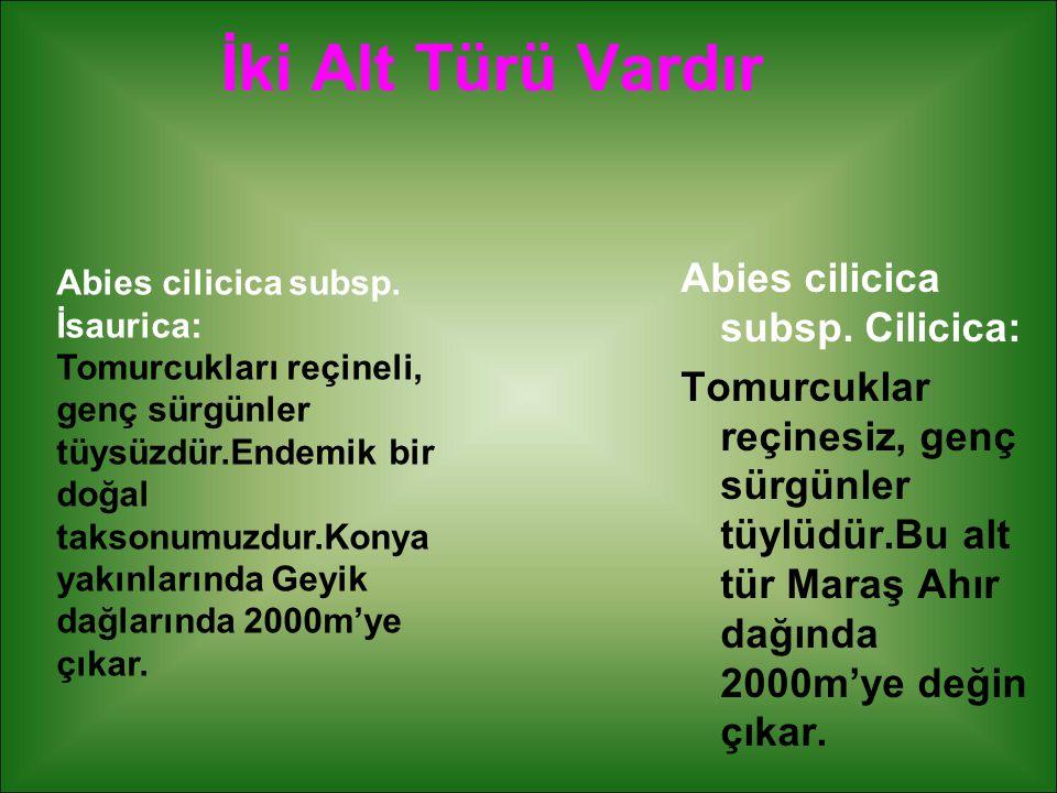 İki Alt Türü Vardır Abies cilicica subsp. Cilicica: