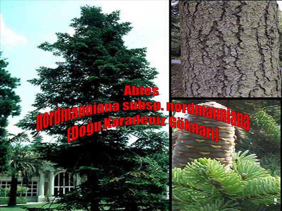 nordmanniana subsp. nordmanniana (Doğu Karadeniz Göknarı)