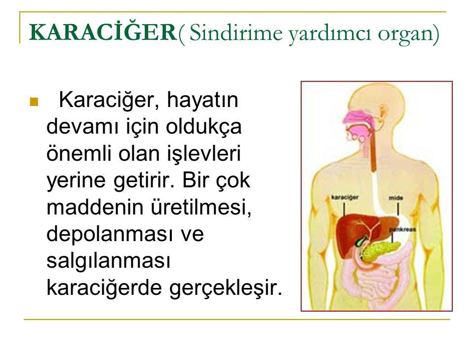 KARACİĞER( Sindirime yardımcı organ)