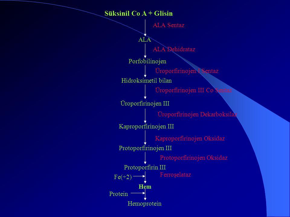Süksinil Co A + Glisin ALA Sentaz ALA ALA Dehidrataz Porfobilinojen