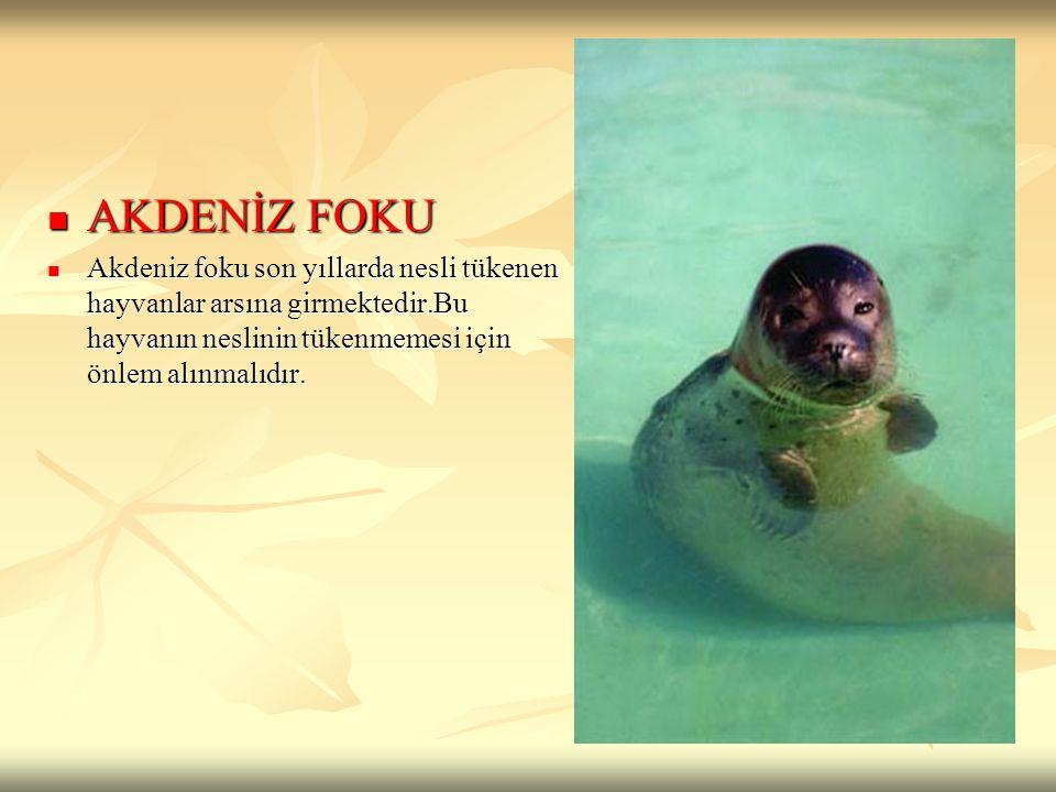 AKDENİZ FOKU Akdeniz foku son yıllarda nesli tükenen hayvanlar arsına girmektedir.Bu hayvanın neslinin tükenmemesi için önlem alınmalıdır.