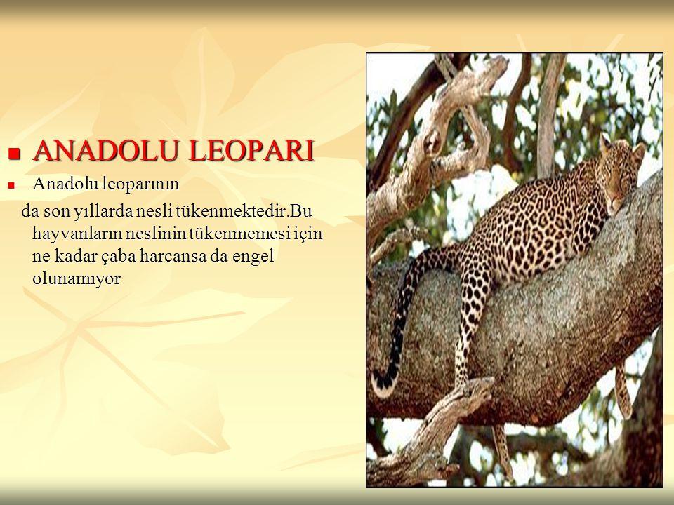 ANADOLU LEOPARI Anadolu leoparının