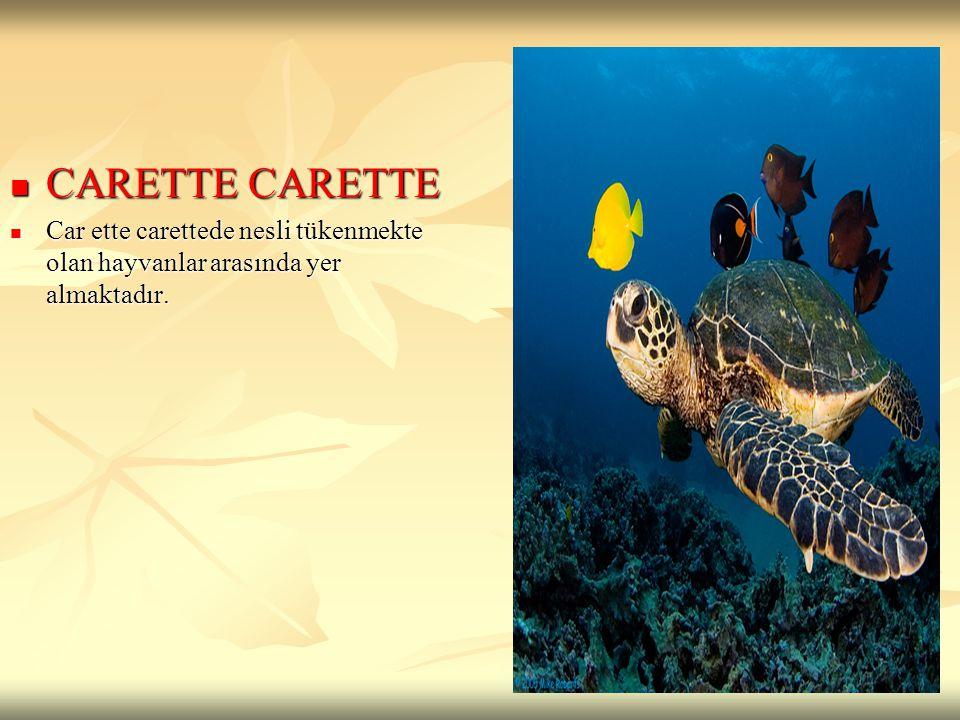 CARETTE CARETTE Car ette carettede nesli tükenmekte olan hayvanlar arasında yer almaktadır.