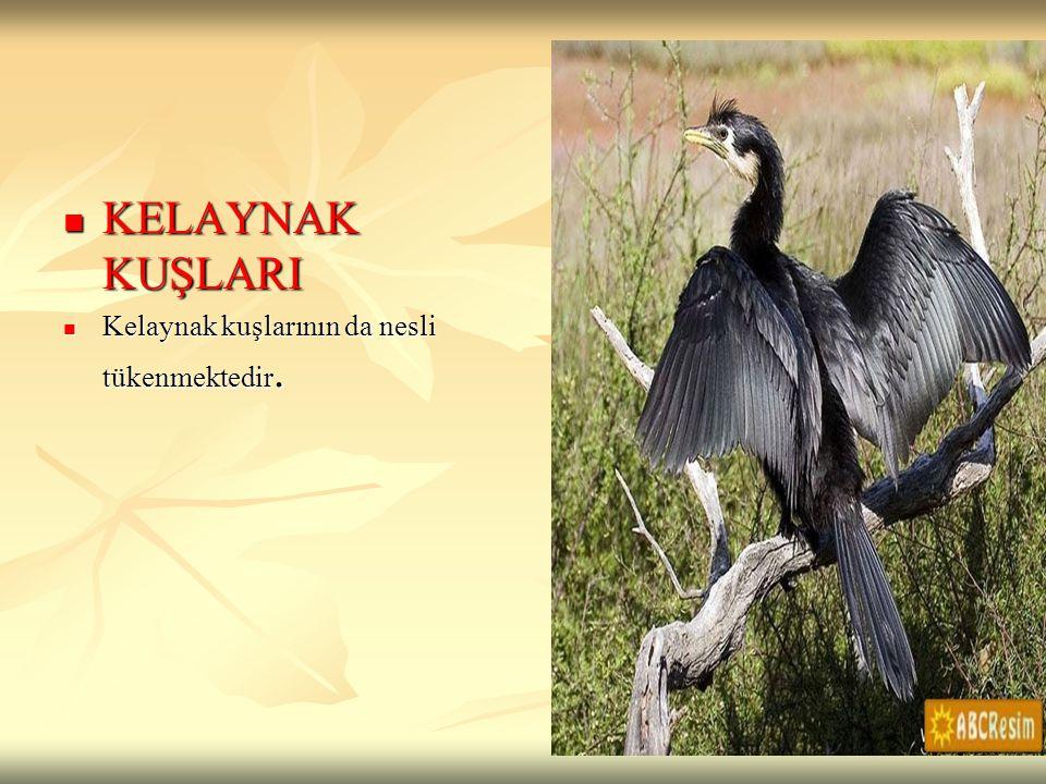KELAYNAK KUŞLARI Kelaynak kuşlarının da nesli tükenmektedir.