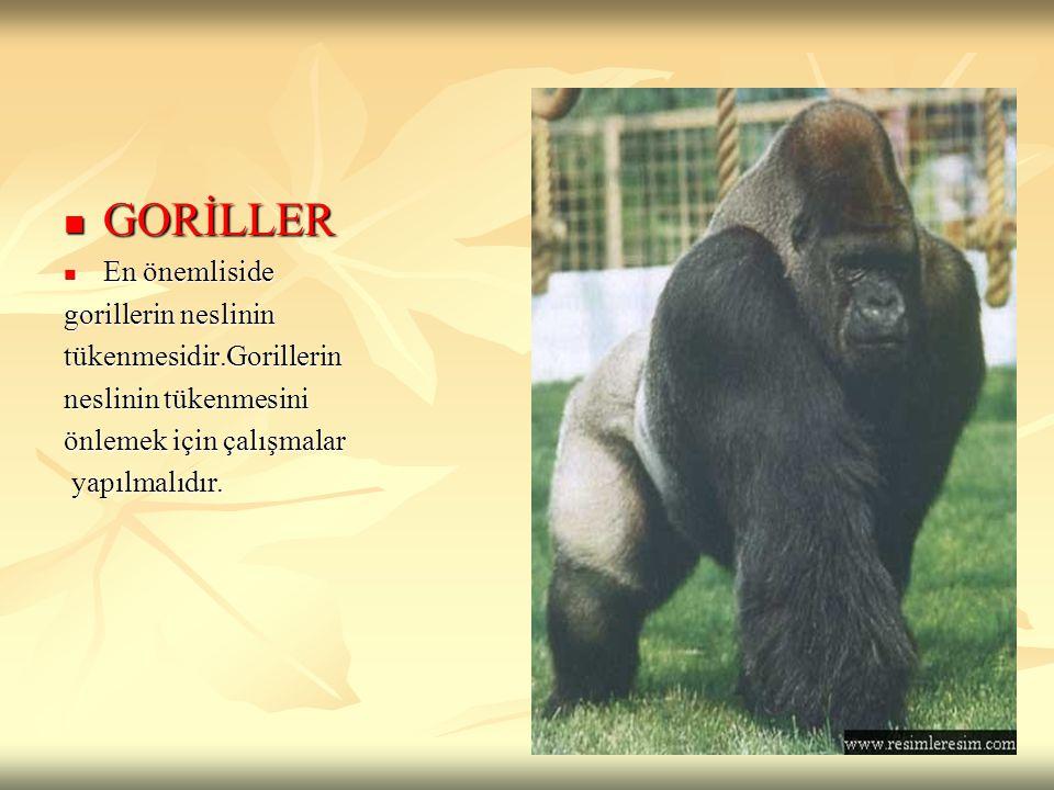 GORİLLER En önemliside gorillerin neslinin tükenmesidir.Gorillerin