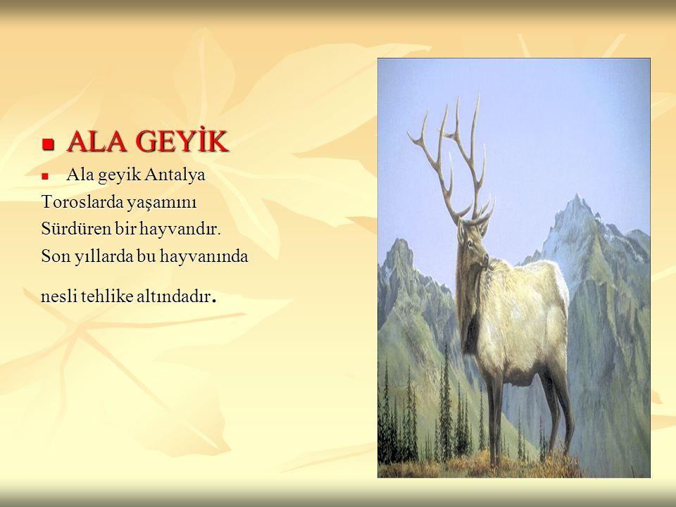 ALA GEYİK Ala geyik Antalya Toroslarda yaşamını