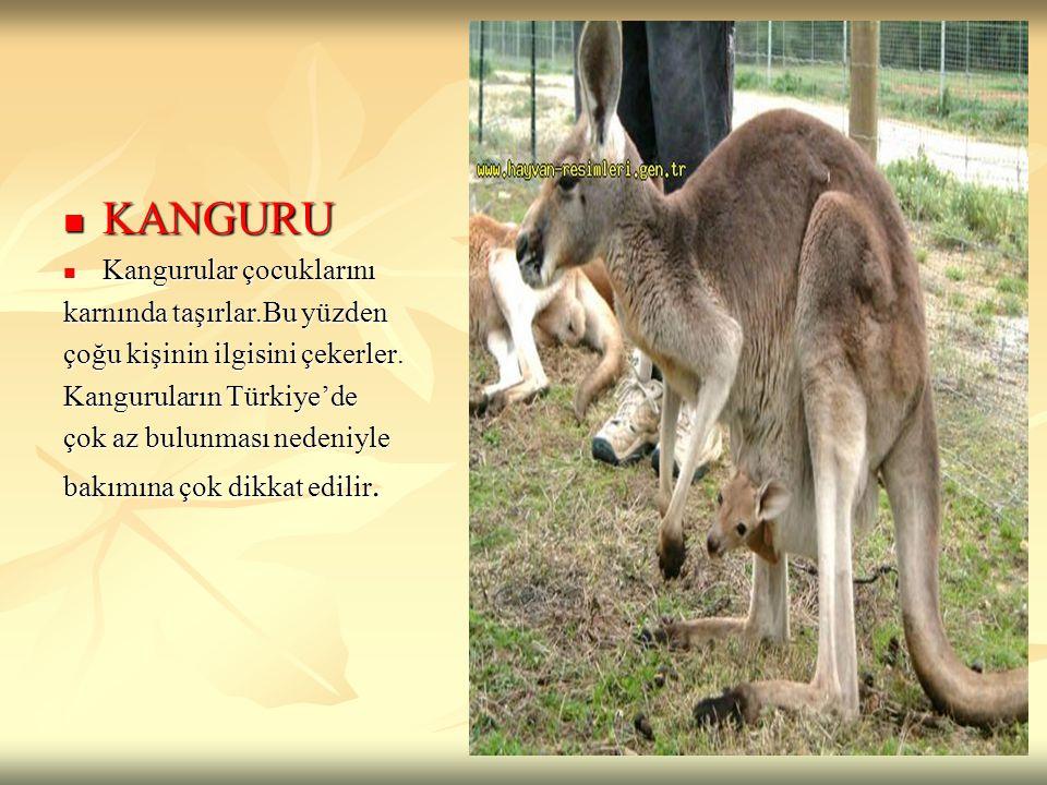 KANGURU Kangurular çocuklarını karnında taşırlar.Bu yüzden
