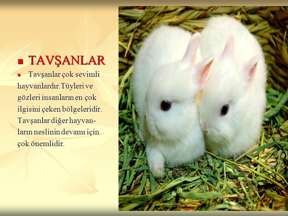 TAVŞANLAR Tavşanlar çok sevimli hayvanlardır.Tüyleri ve