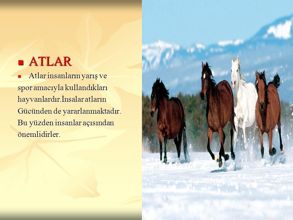 ATLAR Atlar insanların yarış ve spor amacıyla kullandıkları