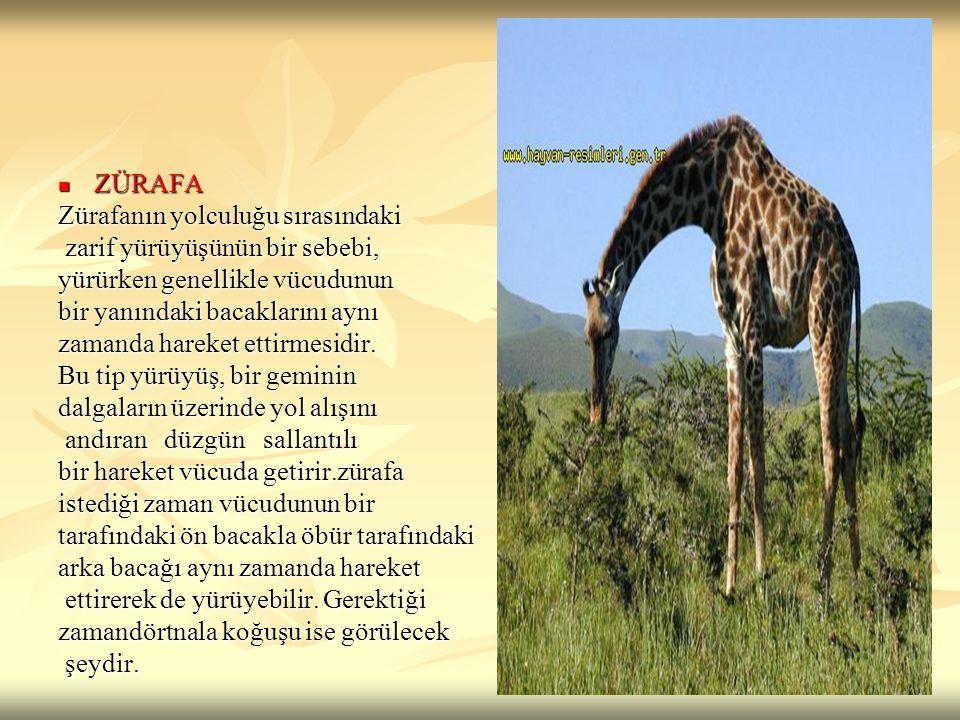 ZÜRAFA Zürafanın yolculuğu sırasındaki. zarif yürüyüşünün bir sebebi, yürürken genellikle vücudunun.