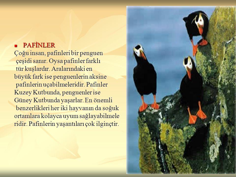 PAFİNLER Çoğu insan, pafinleri bir penguen. çeşidi sanır. Oysa pafinler farklı. tür kuşlardır. Aralarındaki en.