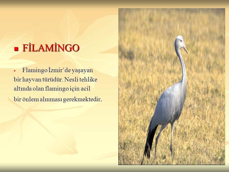 FİLAMİNGO Flamingo İzmir'de yaşayan bir hayvan türüdür. Nesli tehlike