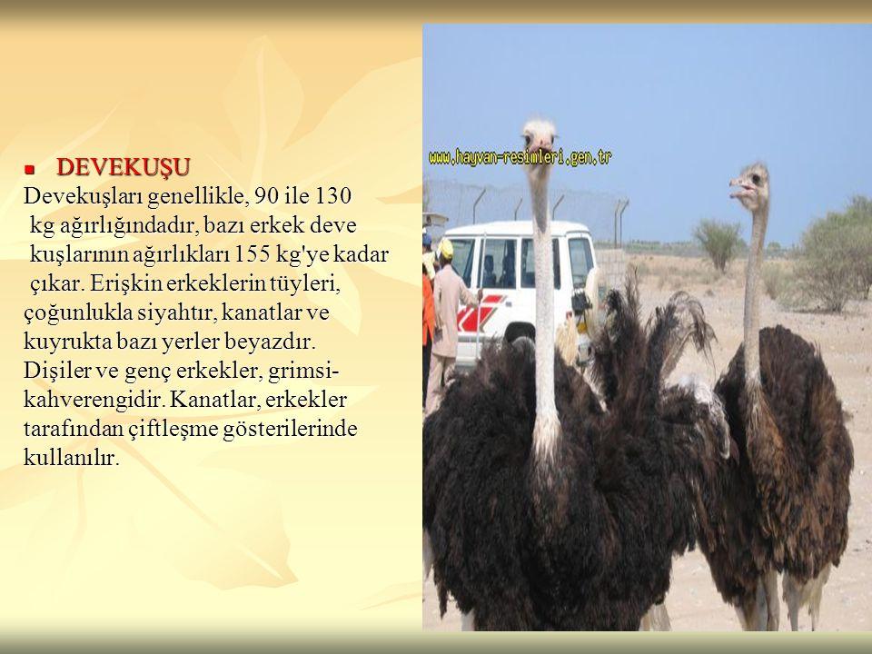 DEVEKUŞU Devekuşları genellikle, 90 ile 130. kg ağırlığındadır, bazı erkek deve. kuşlarının ağırlıkları 155 kg ye kadar.