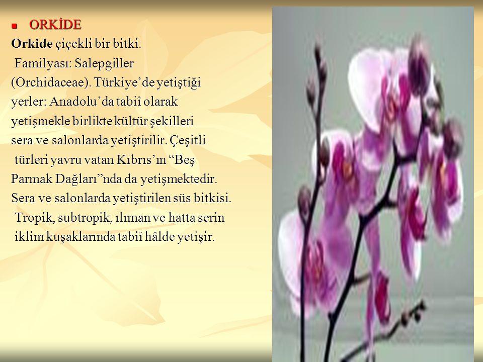ORKİDE Orkide çiçekli bir bitki. Familyası: Salepgiller. (Orchidaceae). Türkiye'de yetiştiği. yerler: Anadolu'da tabiî olarak.