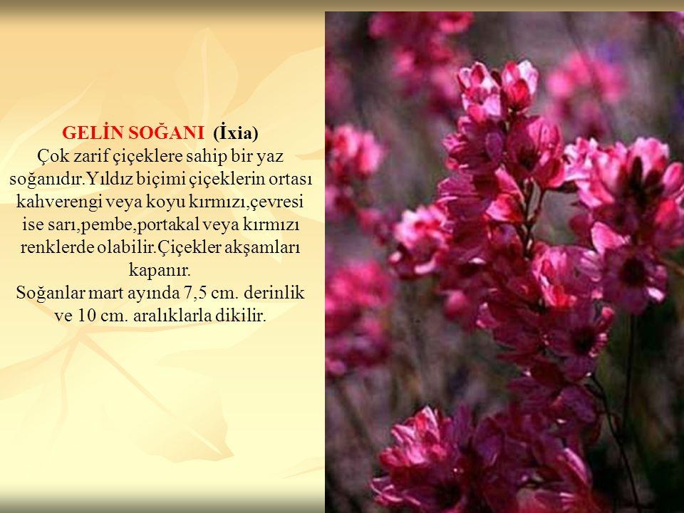Soğanlar mart ayında 7,5 cm. derinlik ve 10 cm. aralıklarla dikilir.