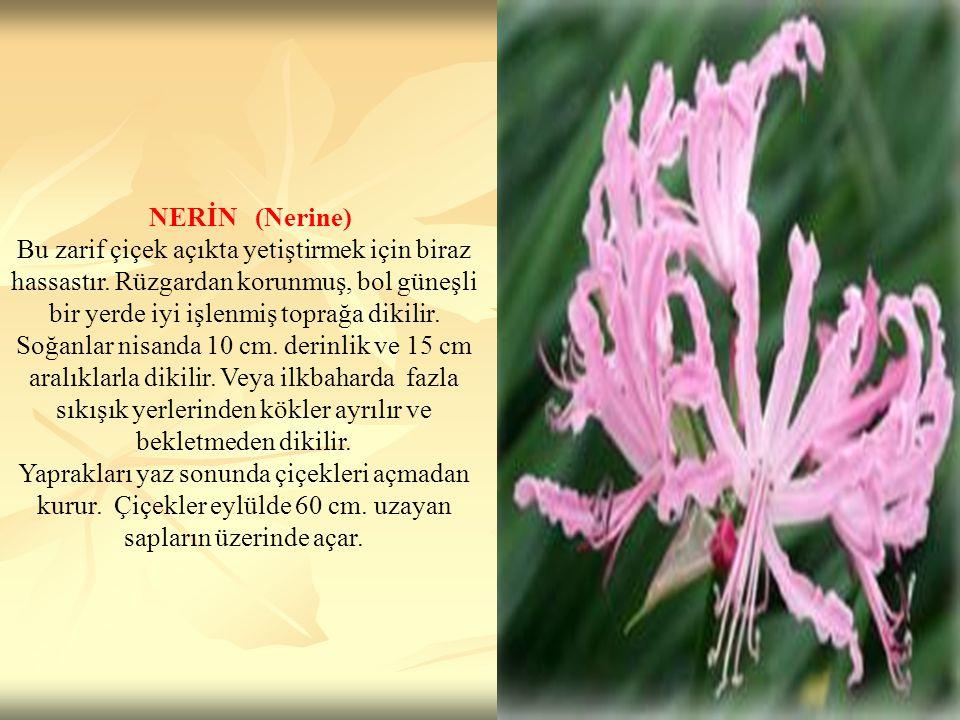 NERİN (Nerine)