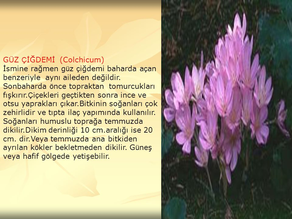GÜZ ÇİĞDEMİ (Colchicum)