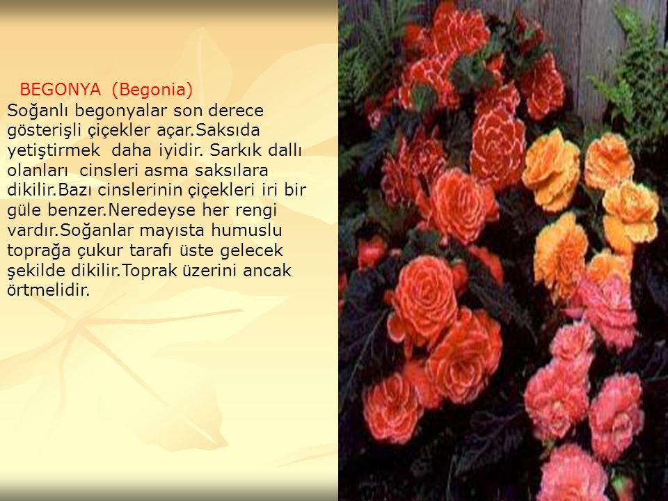 BEGONYA (Begonia)