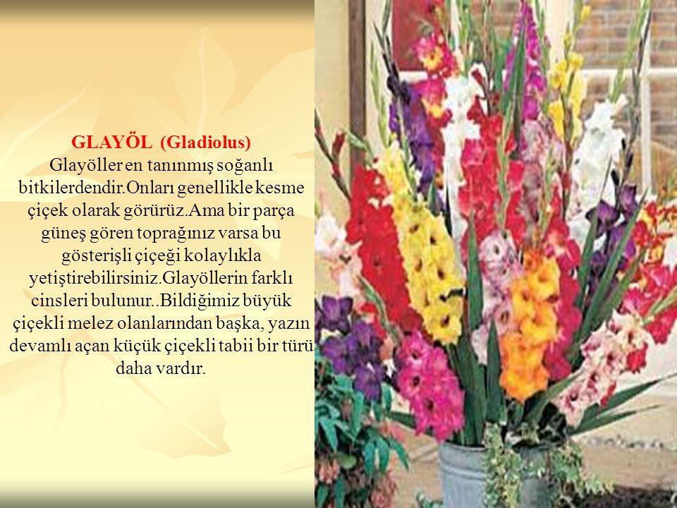 GLAYÖL (Gladiolus)