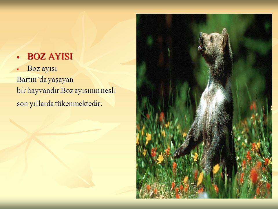 BOZ AYISI Boz ayısı Bartın'da yaşayan bir hayvandır.Boz ayısının nesli